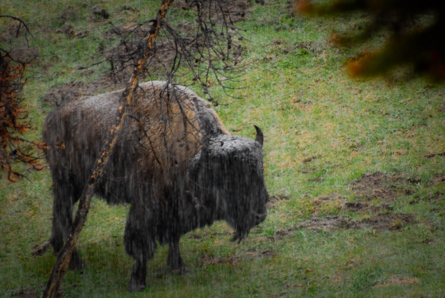 Buffalo at Mud Volcano Yellowstone in the Sleet