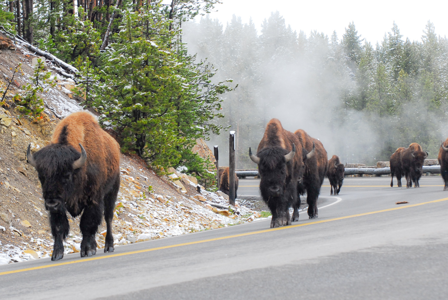 Buffalo walking down the Road at Hayden Valley