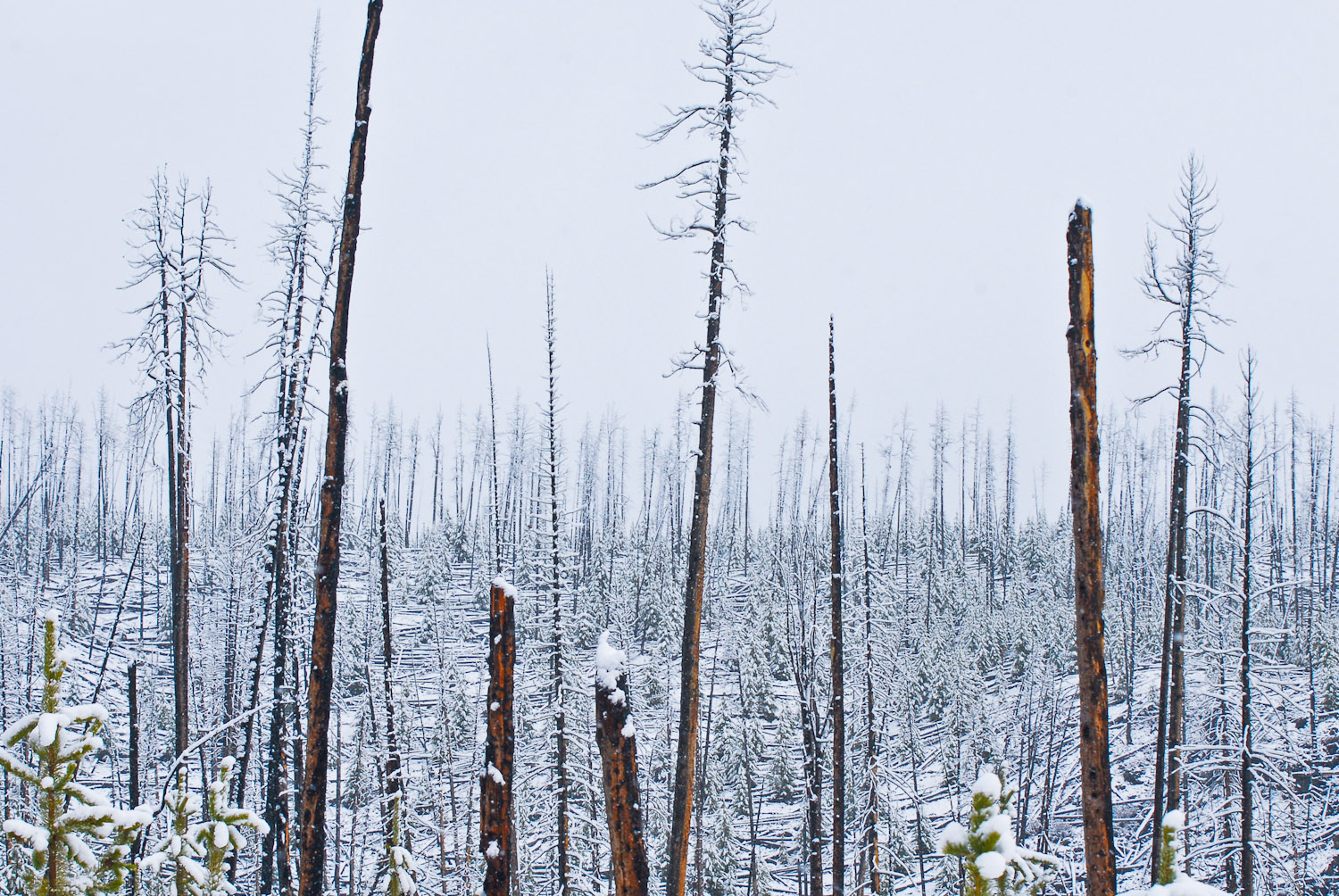 Fresh Snow on Trees in Yellowstone