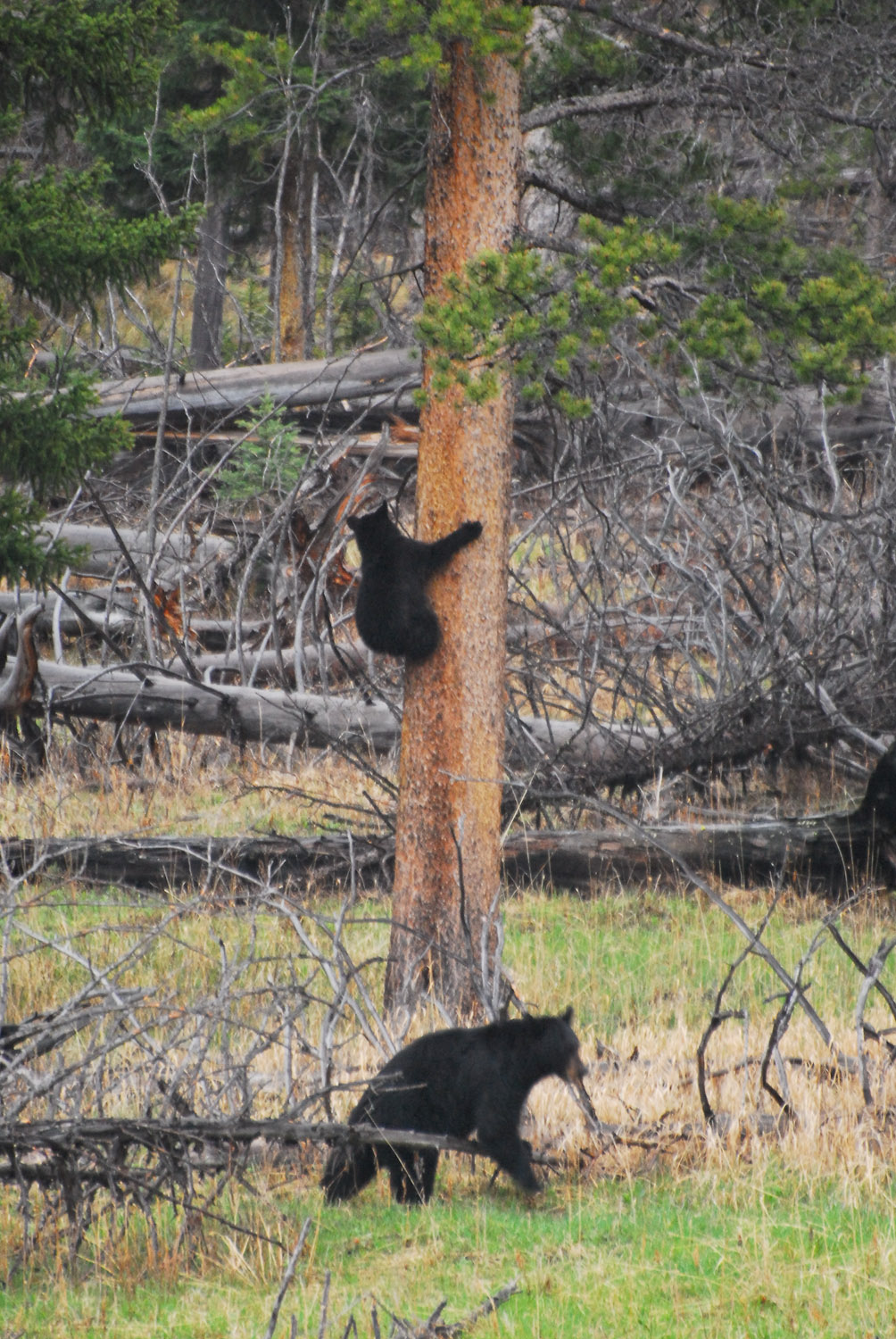Momma and Baby Black Bear at Tower Junction