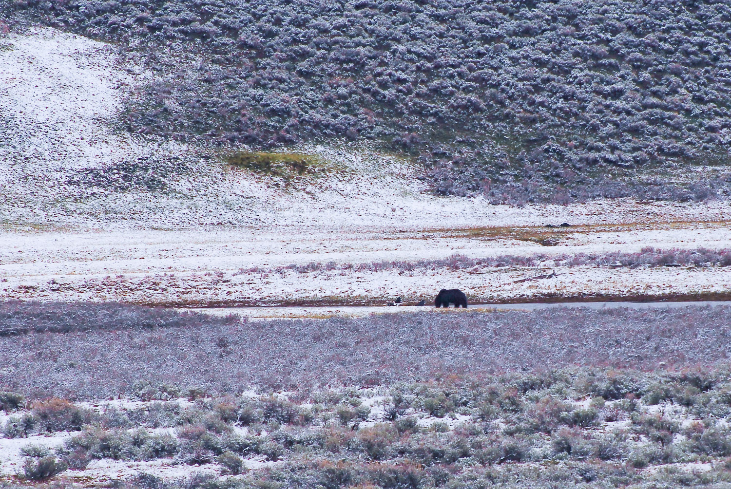 Grizzly Bear drinking water after eating at Hayden Valley