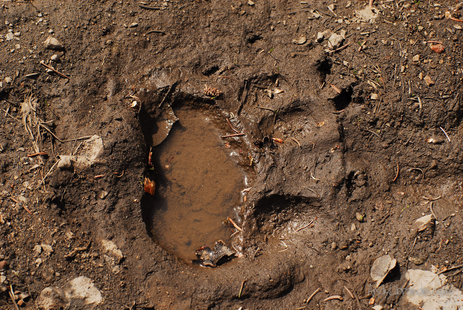 Black bear track on Judd Falls Trail