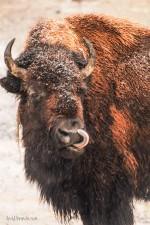 Tatanka in Yellowstone
