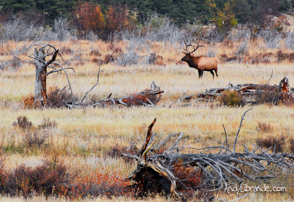 RMNP Fall 2011 Elk Rut on Cub Lake Trail