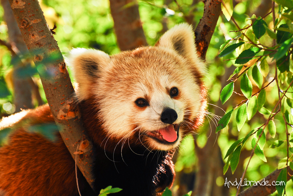 Red Panda at San Diego Zoo