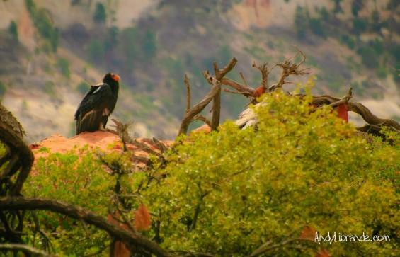California Condor Scout's Landing Zion NP