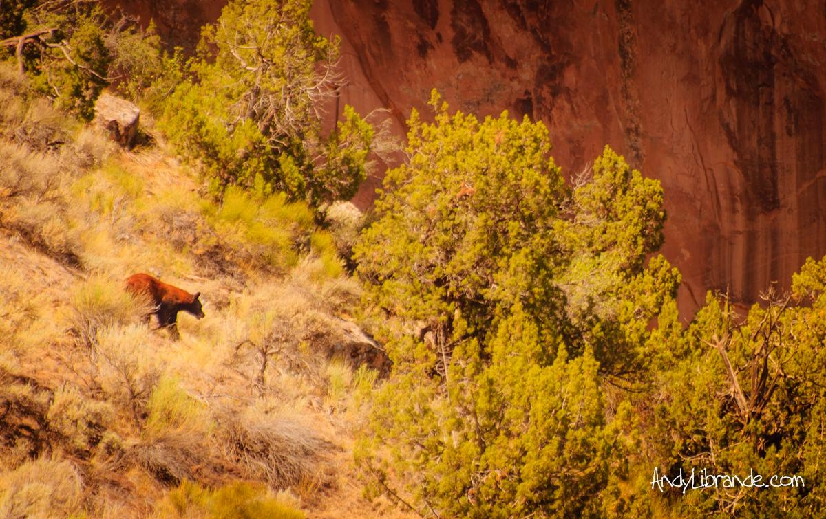 Cinnamon Black Bear along Colorado River in Utah