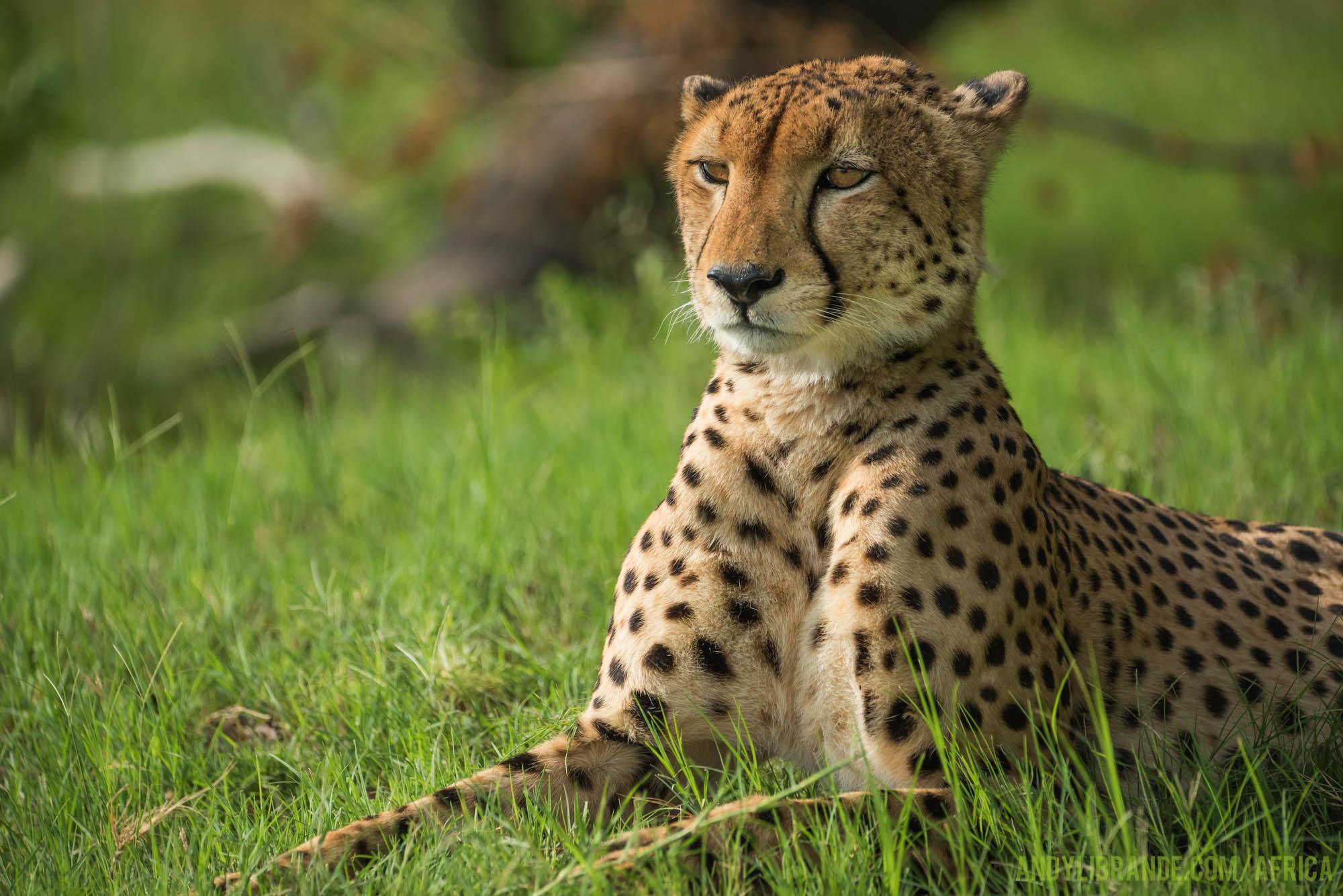 Cheetah at Kwando Okavango Kwara Camp in Green Season
