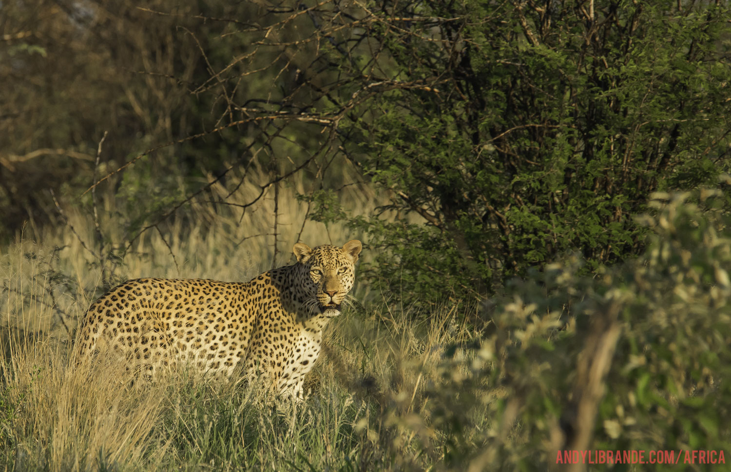 Leopard in Central Kalahari Game Reserve