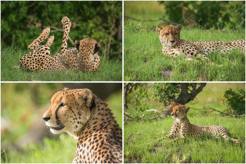 cheetah-okavango-green season