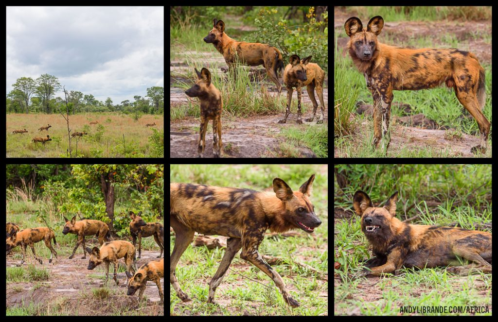 Pictures of African Wild Dogs from Lebala Kwando Camp