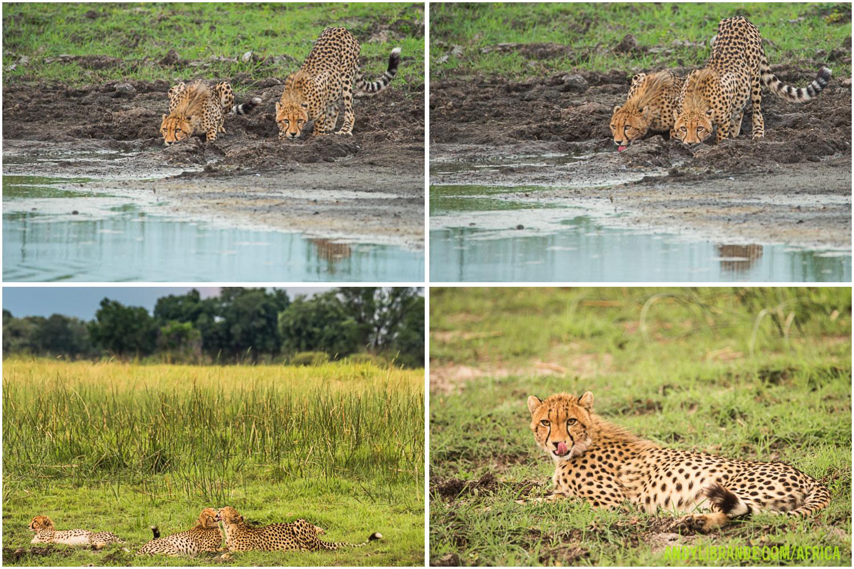cheetah-yearlings-botswana