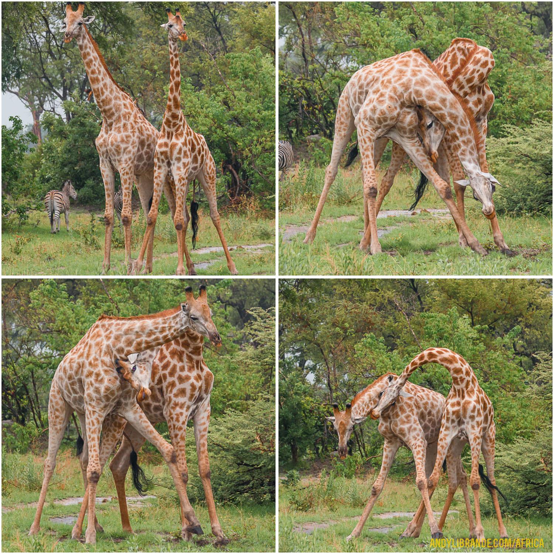 giraffe-headbutting-fighting-botswana