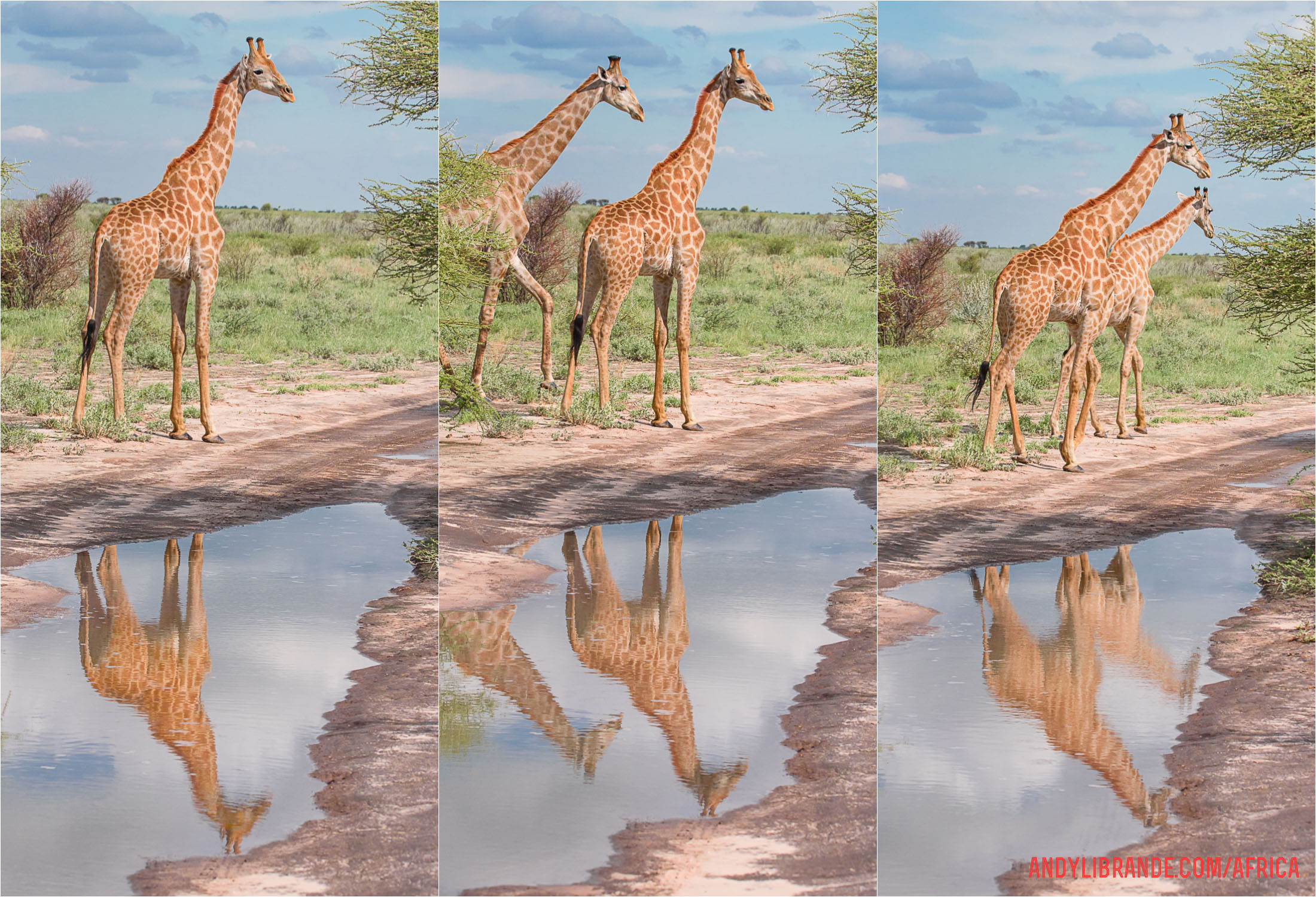 giraffe-reflection-centralkalahari-unlimitedsafaris