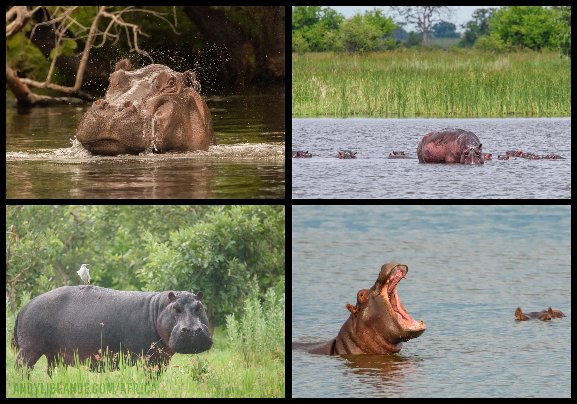 Kwando Safaris Okavango Delta Hippos