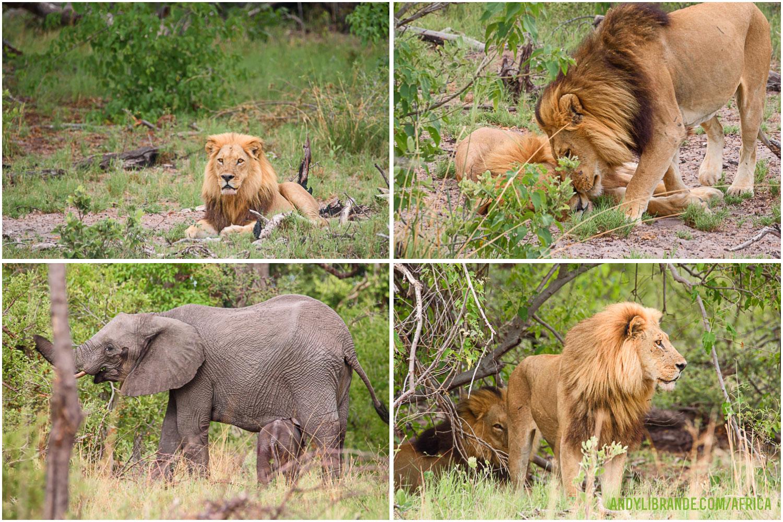 lion-kwara-kwando-botswana