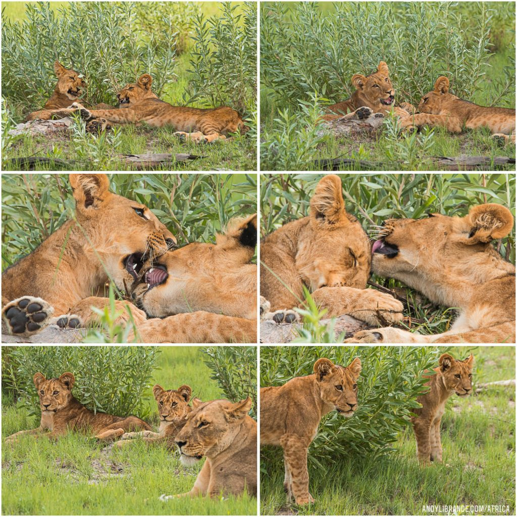 Lions cubs in Botswana at Kwando Camps